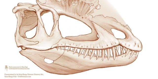 Scientists have found evidence that the Dilophosaurus' skull served as scaffolding for powerful jaw muscles, shattering the image of the dinosaur as more fragile and svelte that has been promoted in scientific literature and popular culture. Credit: Skull reconstruction by Brian Engh, commissioned by The Saint George Dinosaur Discovery Site.