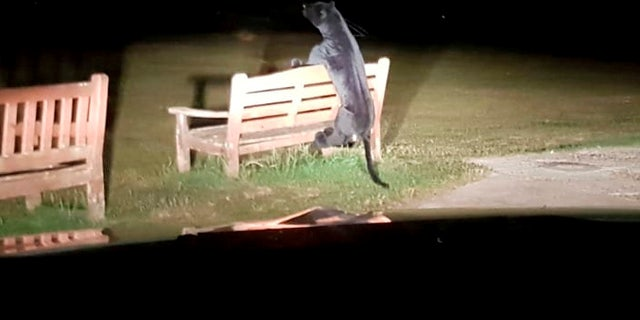 Sussex Police were initially concerned when they first sighted the big cat in their car headlights, seemingly attempting to jump over the bench.
