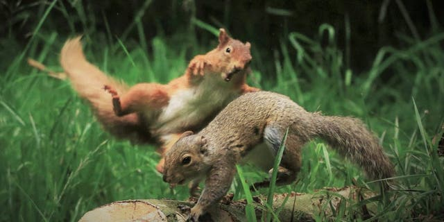 John O'Brien, 57, from Arklow, Ireland, has captured the extraordinary moment a red squirrel decided to confront grey squirrel entered its territory. (Credit: SWNS)