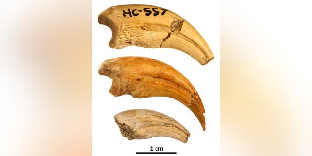 The three claws described in the study form an ontogenetic series showing changes in shape and texture as the animal grew in size. (Credit: Badlands Dinosaur Museum)