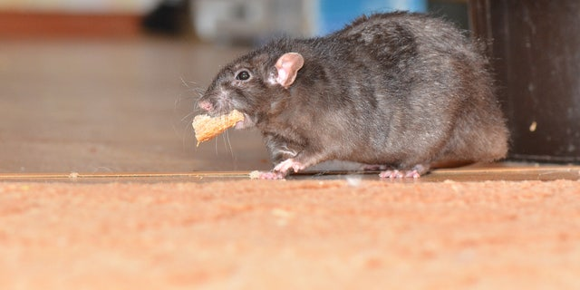Some Big Apple business owners have recently complained that the all the al fresco dining is drawing rodents.