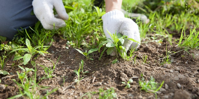 Drip irrigation, by pinpointing water near your garden plants, also results in less weeding.