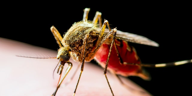 West Nile virus is transmitted primarily by several Culex species, including Culex salinarius and Culex pipiens, health officials say. (iStock)