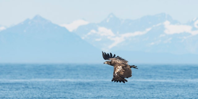 The man rescued the juvenile bald eagle from the lake waters.