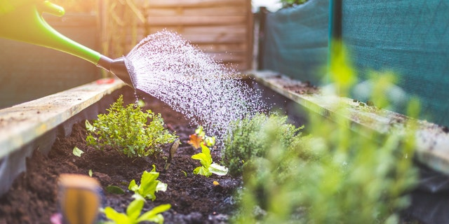 Reserve hand watering for the first few days that vegetable and flower transplants are in the ground, and for your weekly deep watering for newly planted trees and shrubs.