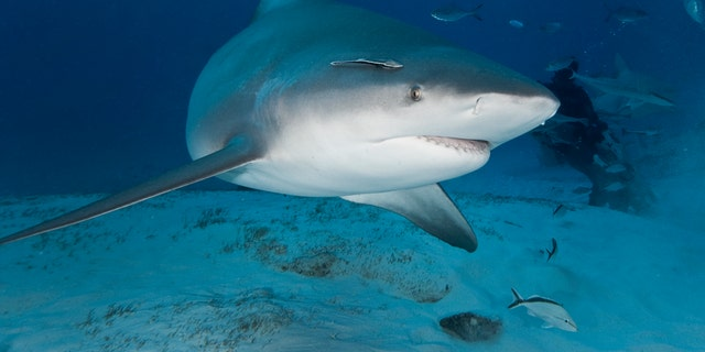 A bull shark swims through deep water off Mexico's Yucatan Peninsula. The Monroe County Sheriff's Office says boaters spotted one of these sharks in the waters where the attack in the Florida Keys happened this weekend. (iStock)