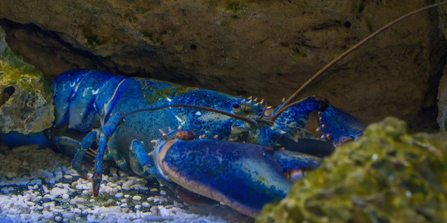 Blue lobsters only occur in nature about once in every 200 million, according tothe University of Maine Lobster Institute. (iStock)