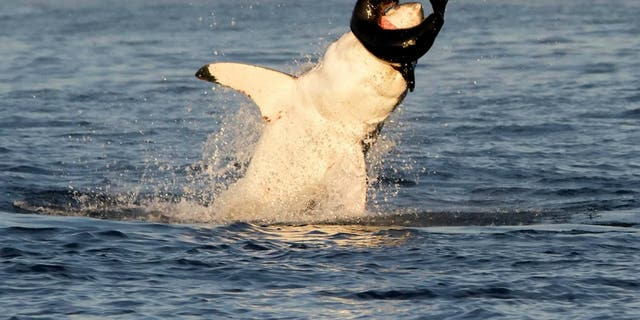 This is the heart-pounding moment a wildlife photographer filmed a voracious great white shark breaching the water to devour a helpless seal pup. (Credit: SWNS)