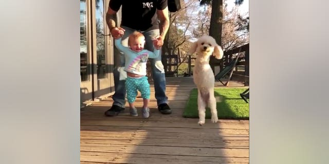 "Now, the playful poodle is living her best life, with her proud owner describing Cora as ""the friendliest, happiest dog I've ever met.""  <br data-cke-eol=""1"">"