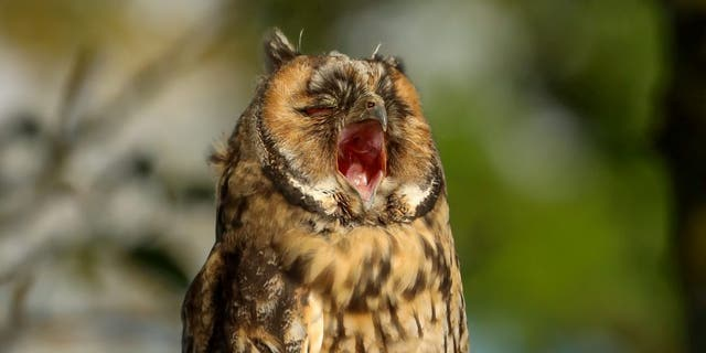 A juvinile long-eared owl yawning on the log in fabric East Riding Yorkshire. 06/07/20