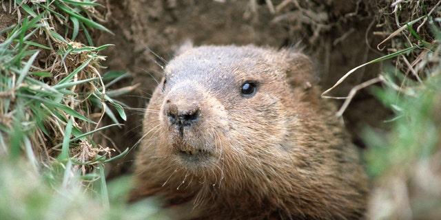 A marmot.