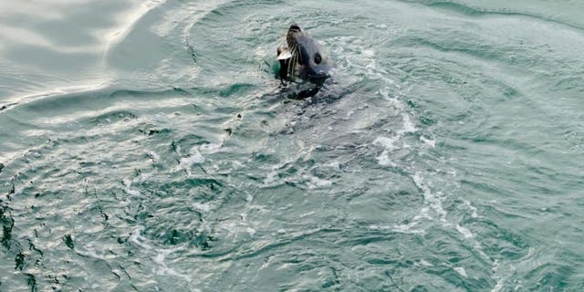 A wild seal has been delighting holidaymakers in the Devon resort of Dartmouth this week. (Credit: SWNS)