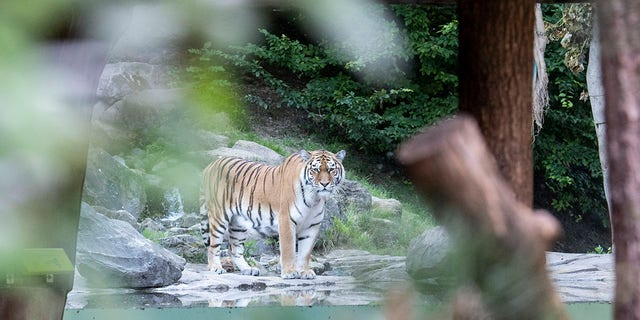 Two adult Amur tigers live in the tiger enclosure of Zoo Zurich: the five-year-old female Irina and the four-and-a-half-year-old male Sayan, pictured above after the Saturday attack.  (Ennio Leanza / Keystone via AP)
