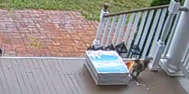 An opportunistic squirrel was caught stealing pizza that had been left on a porch in NJ after a contactless-delivery.