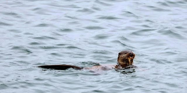 Westlake Legal Group tarkaway-meal-i-531551-e1593616208566 Photographer takes remarkable photos of otter eating an entire fish whole fox-news/science/wild-nature/mammals fox-news/science fox news fnc/science fnc Chris Ciaccia article 93162d90-b6ff-56eb-b622-b838e1a20b92