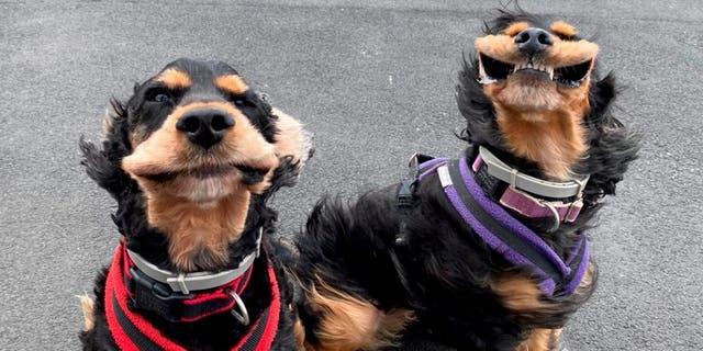 These heartwarming pictures show the moment two adorable dogs were captured with their mouths flapping as they were taken for a cliff-top walk during a gust. (Credit: SWNS)