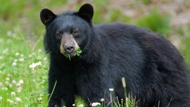 Bear that went viral after sniffing hiker's hair has been castrated, sparking outrage