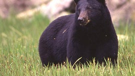 Bear walks into mobile home, scares family with ten kids, attacks dad