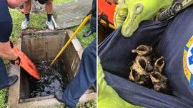 Florida fire rescue team saves ducklings trapped in storm drain as Tropical Storm Isaias neared
