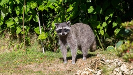 Vaccine bait to be dropped to try to curb rabies in Maine
