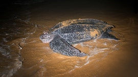 California takes steps to protect leatherback sea turtles