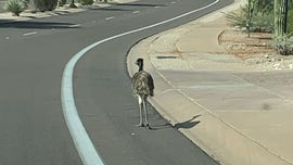 Arizona police lasso escaped emu with help of residents, search for owner