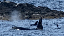 Elusive Shetland Orcas captured on film, creating once-in-a-lifetime moment