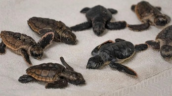 Florida zoo takes in dozens of sea turtle hatchlings during Isaias but says they 'don't need to be here'
