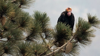 California wildfire destroys endangered condor sanctuary