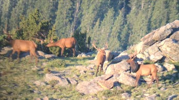 Wildlife officers search for elk with tire around its neck