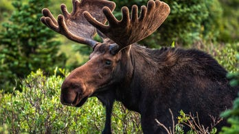 Colorado park ranger posts message warning guests not to feed pizza to moose