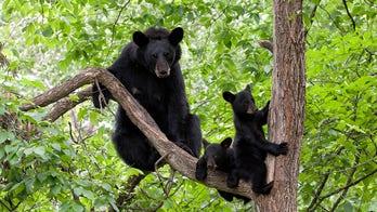 Bears break into California home, property 'torn apart,' deputies say