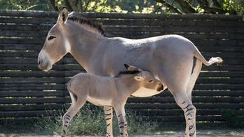 One of the world's rarest animals, African wild donkey, born at English zoo