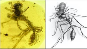99M-year-old 'hell ant' trying to eat a cockroach found entombed in amber