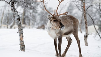Animals most at risk for coronavirus include reindeer and dolphins, according to study