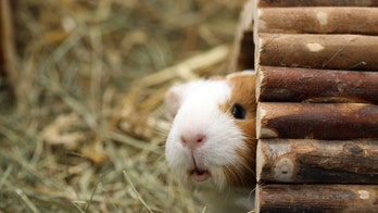 Influenza virus spread by guinea pigs through dust particles, study shows