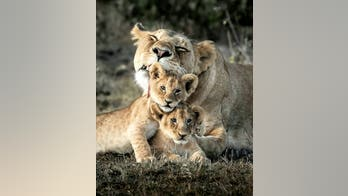 Viral photo shows lioness snuggling with her cubs at famous African game reserve