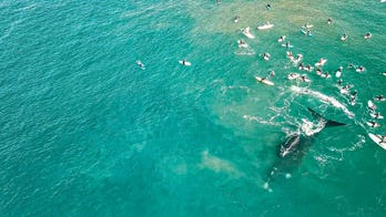 Whales surprise Australian surfers in striking drone footage