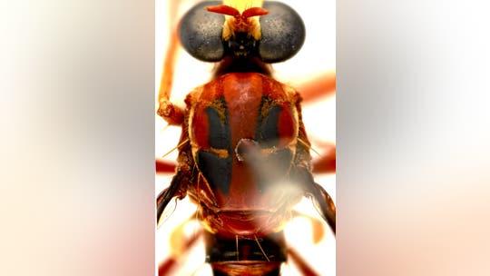 Australian 'assassin flies' named after Deadpool, Stan Lee, Black Widow