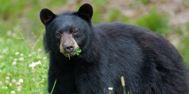 It was the highest total number of bears taken in New York since 2003, according to DEC records.