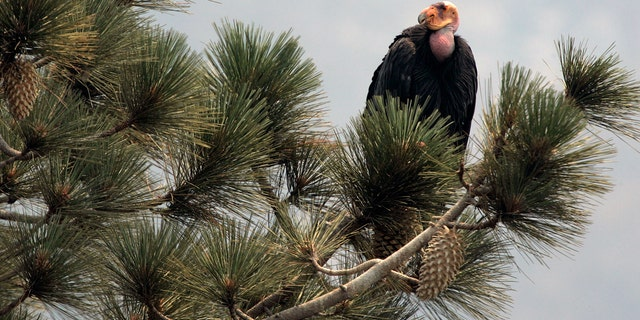 July 10, 2008: A California condor is perched atop a pine tree in the Los Padres National Forest, east of Big Sur, Calif. A California wildfire that began Wednesday, Aug. 19, 2020, has destroyed a sanctuary for the endangered California condor in the Los Padres National Forest.