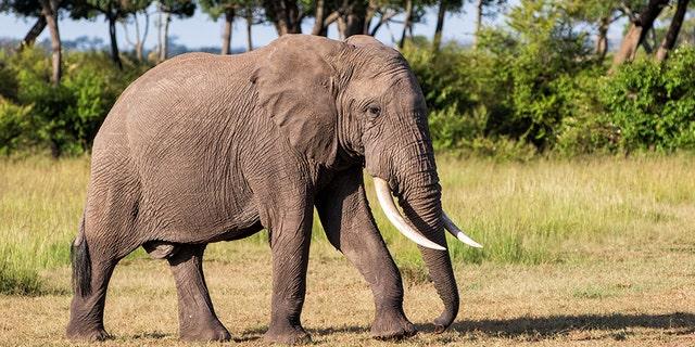 Elephant bull walking in the Masai Mara Game Reserve in Kenya.