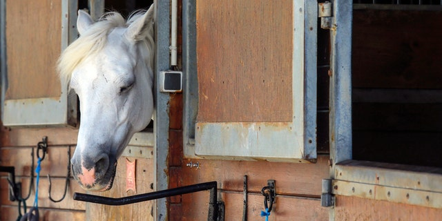 A horse stands in a box at a equestrian club in Les Yvelines, French department west of Paris, Friday, Aug. 28, 2020.