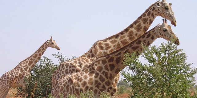 A picture taken on August 14, 2010 in Koure, next to Niamey shows Giraffes walking in the bush. Two giraffes among the last ones in Western Africa, surviving in the south-west of Niger were victim of poaching for the first time in 20 years according to Niger's environment and wildlife officials.