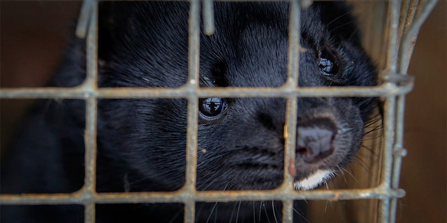 FILE - In this Dec. 6, 2012, file photo, minks look out of a cage at a fur farm in the village of Litusovo, northeast of Minsk, Belarus. Coronavirus outbreaks at mink farms in Spain and the Netherlands have scientists digging into how the animals got infected and if they can spread it to people. (AP Photo/Sergei Grits, File)