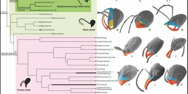 Phylogeny and Cephalic Homology of Hell Ants and Modern Lineages. (Credit: NJIT, Chinese Academy of Sciences and University of Rennes, France)