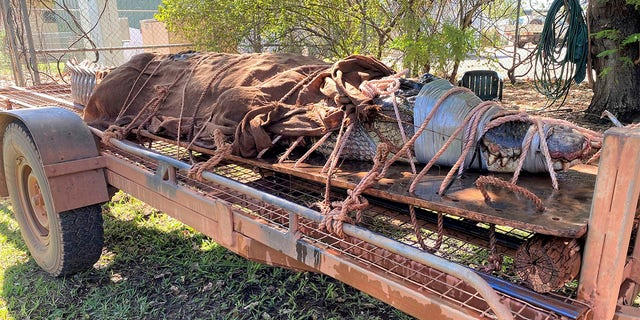 A 770-pound (350-kilogram) male crocodile is tied to the back of a trailer in Katherine, Australia on Aug. 28, 2020. Wildlife rangers trapped the 14.5-foot (4.4-meter) saltwater crocodile at a tourist destination in Australia's Northern Territory. (Northern Territory Dept. of Tourism, Sport and Culture via AP)