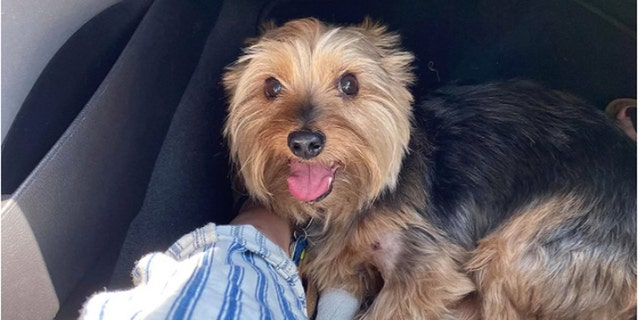 Eleven-year-old Yorkshire Terrier was bitten by a rattlesnake in South Dakota while on a walk with its owners, Devin Diede and Alex. (Photo courtesy of Devin Diede)