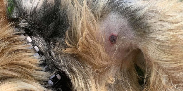 Bear the dog was bit by a rattlesnake in South Dakota.A single puncture wound on the dog's chest is all that remains from the ordeal. (Photo courtesy of Devin Diede)