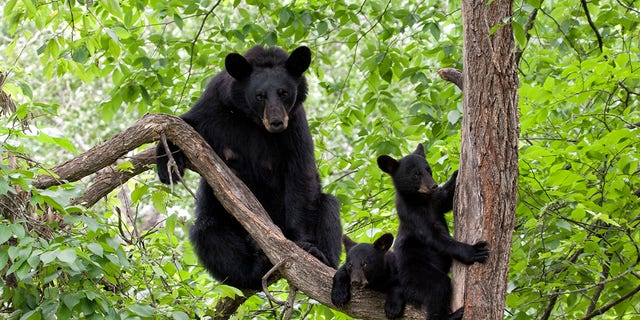 A female bear and two cubs entered an occupied Airbnb in Wilmington, Vt. on Aug. 16.
